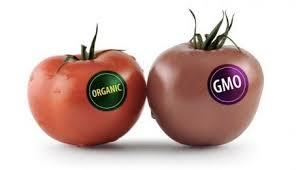 Organic and GM tomato