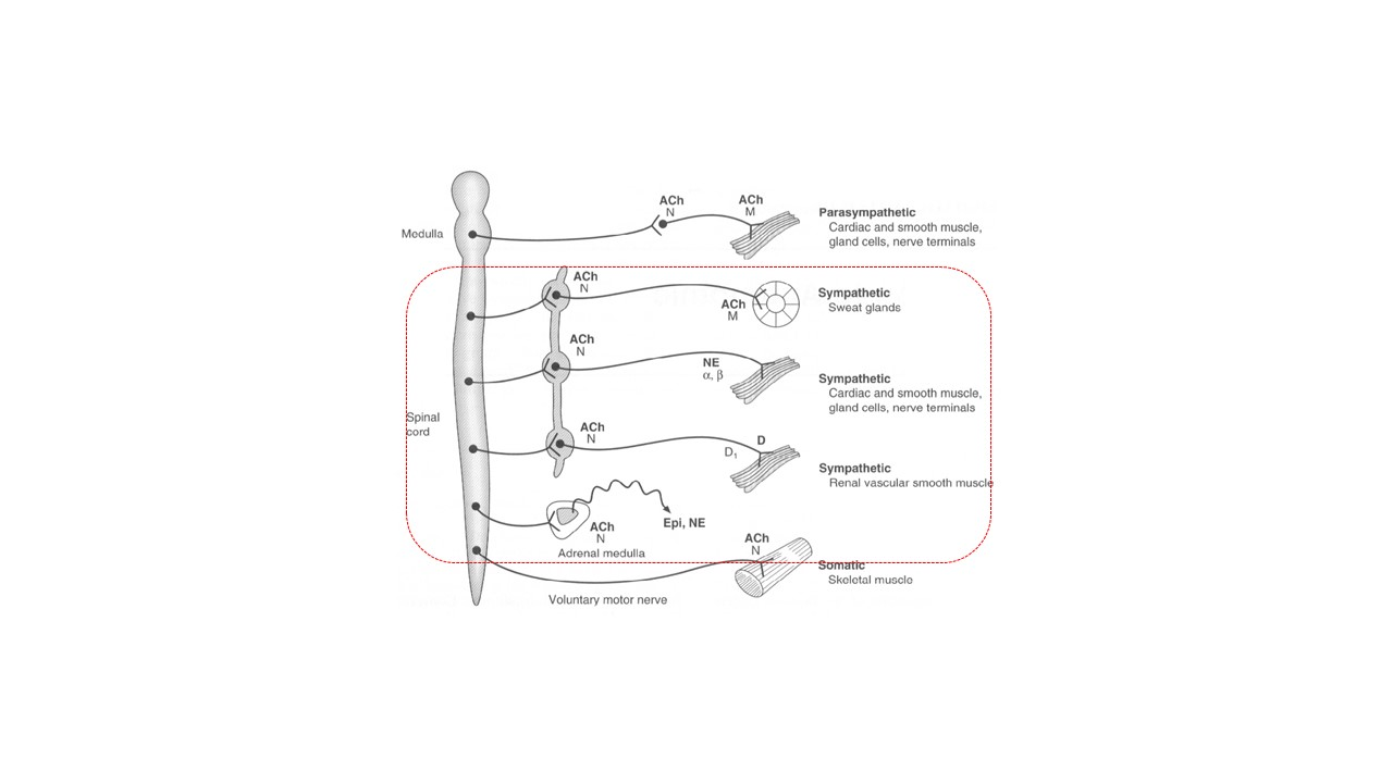 Fig.1. Desenho esquemático do Sistema Nervoso Autôomo (SNA), destacando (pontilhado) a divisão do SNS, mostrando os tipos de fibras, transmissores, as sinapses e os neurotransmissores e tipos de receptores nas sinapses gangliores e neuroefetoras. Adaptado: